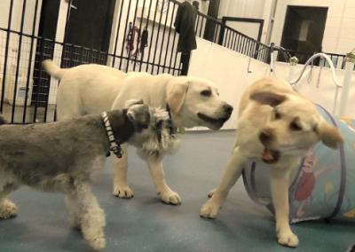 Puppies-and-Pippa-B-play